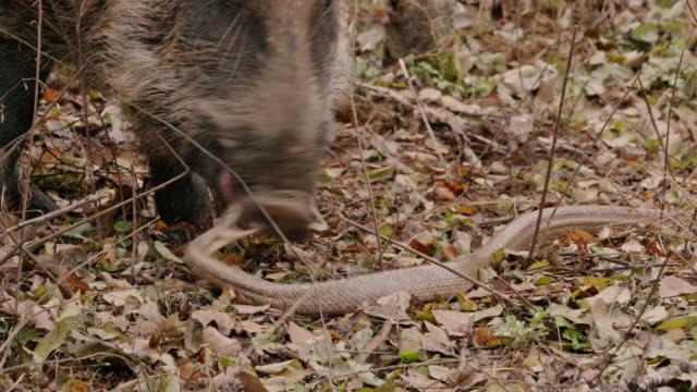 garter snake attacking a wild boar in the dmz (demilitarized zone between south and north korea), goseong-gun - south korea stock videos & royalty-free footage