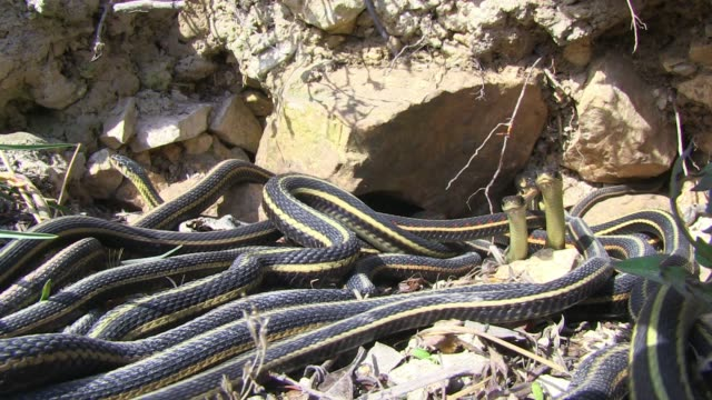 t/l garter snakes emerge from rocks and are overwhelmed by mating males - manitoba stock videos & royalty-free footage