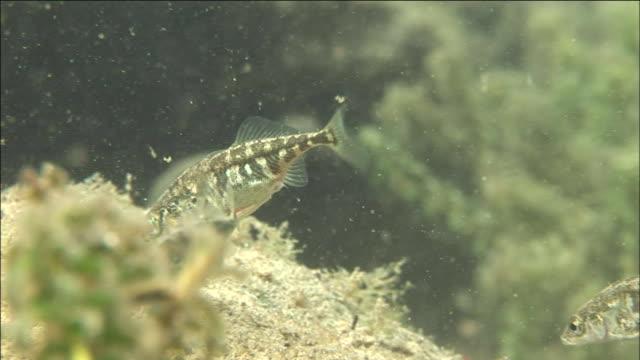 gasterosteus microcephalus swim along a murky seabed. diving-shot - 海藻点の映像素材/bロール
