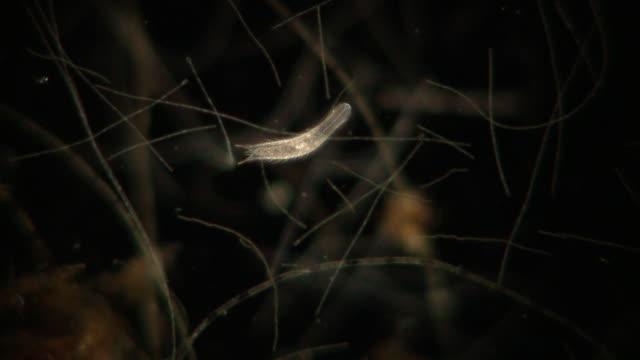 vídeos de stock, filmes e b-roll de gastrotrich moving through organic matter underwater. - hermafrodita
