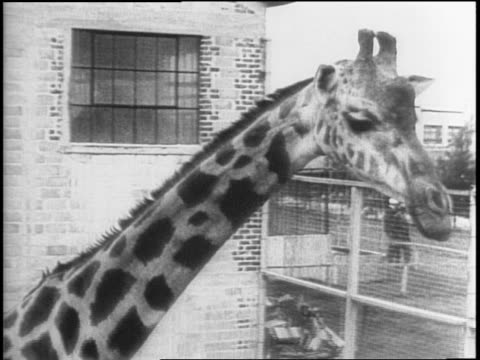 gates outside the bronx zoo / giraffes walking near a building / dr leonard j goss, zookeepers, and children walking sick orangutan out to special... - zoologia video stock e b–roll