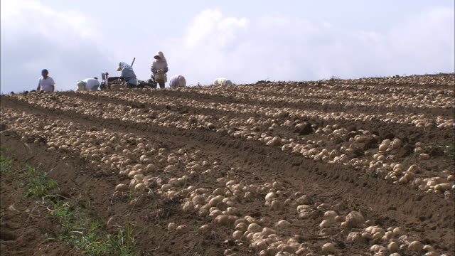 gathering potatoes dug out women gathering potato with hands one by one into baskets wide and long shot potato farmwork harvest season - raw potato stock videos & royalty-free footage