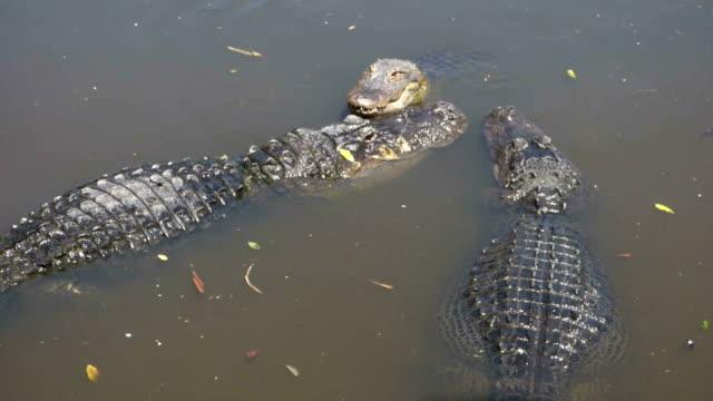 Gator Growling