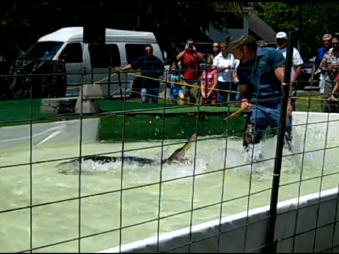 / Gator wrestler in caged pool area taunts alligator with a stick and attempts to wrestle it Man wrestles alligator on May 01 2010 in New Port Richey...
