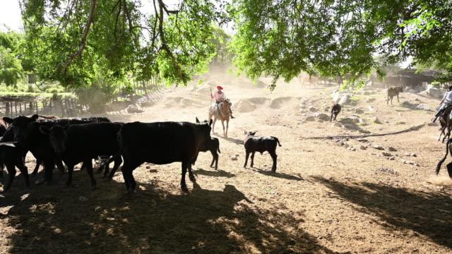 vídeos de stock, filmes e b-roll de gaúcho em gado de pastoreio a cavalo - animal de trabalho