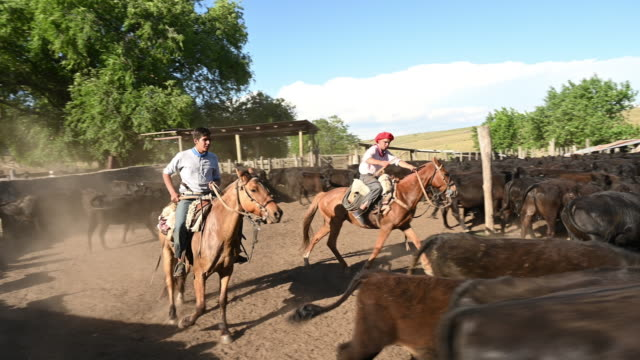 gauchos on horses working with cattle on argentine ranch - argentinian culture stock videos & royalty-free footage