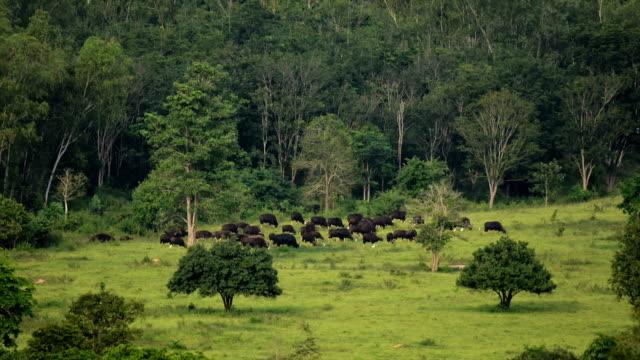 Gaur (Bos gaurus) and Banteng (Bos javanicus)