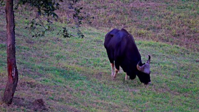 Gaur (Bos gaurus) och Banteng (Bos javanicus)