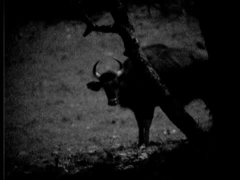 gaur, bos frontalis, looking at camera, framed by tree, night shot, ms, india - vignettierung stock-videos und b-roll-filmmaterial
