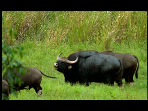 gaur (bos gaurus) bull rutting call, nagarahole, southern india - hierarchy stock videos & royalty-free footage