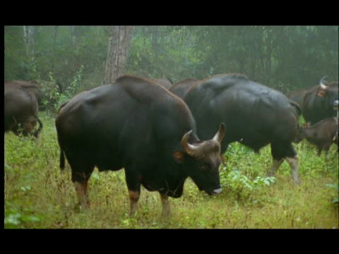 gaur (bos gaurus) bulls ritual display to raise their profiles and therefore dominance in the rut, nagarahole, southern india - hierarchy stock videos & royalty-free footage