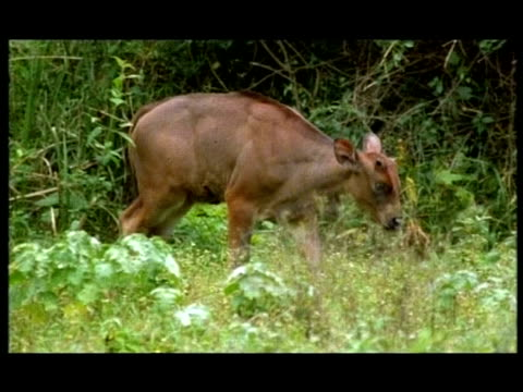 gaur (bos gaurus) calves, nagarahole, southern india - herbivorous stock videos and b-roll footage