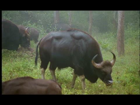 Gaur (Bos gaurus) grazing, Nagarahole, Southern India