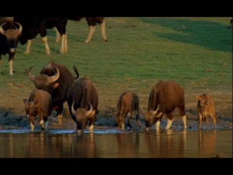 gaur (bos gaurus) herd with calves drinking, opposite kkote, nagarahole, india - medium group of objects stock videos & royalty-free footage