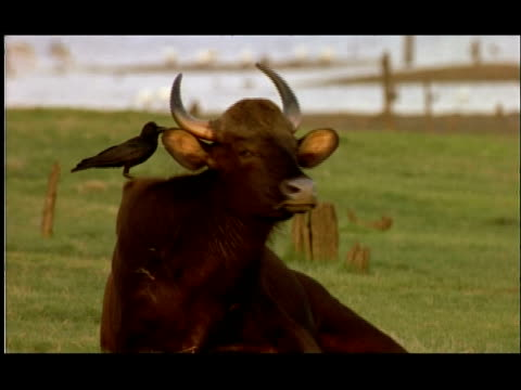 ms gaur lying in field with bird on back, india - lying on back stock videos & royalty-free footage