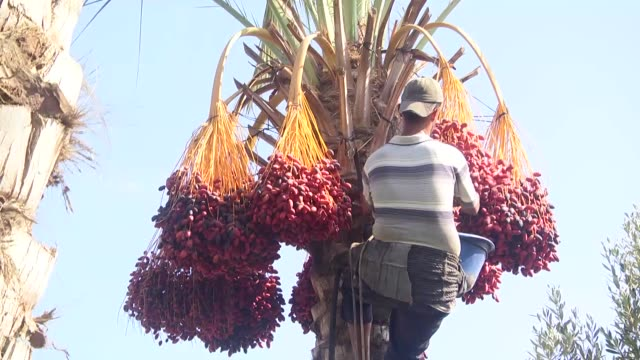 gazan farmers collect dates from palm trees during the harvest season in the eastern city of deir al-balah, gaza strip on september 26, 2018.... - palm tree stock videos & royalty-free footage