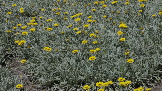 gazania, african daisies, blooming - gazania stock videos & royalty-free footage