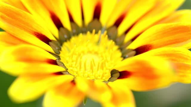 Gazania, Treasure Flower in the Garden