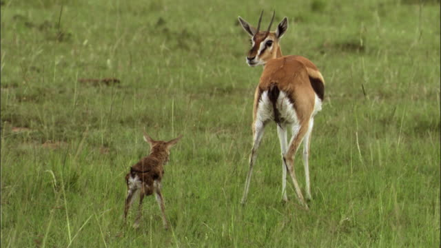 gazelle calf with his mother - young animal stock videos & royalty-free footage