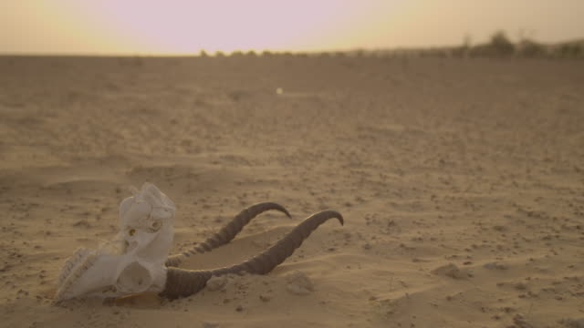 gazelle skull lying in desert at sunset, uae - skull stock videos and b-roll footage