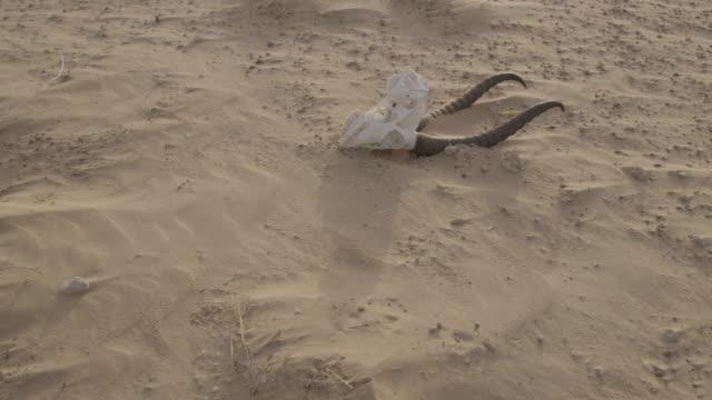 gazelle skull lying in desert at sunset, uae - animal skull stock videos and b-roll footage