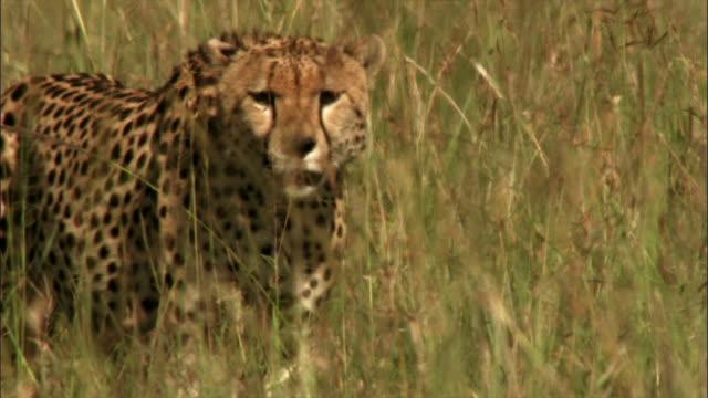 gazelles, cheetahs and elephants - cheetah stock videos & royalty-free footage