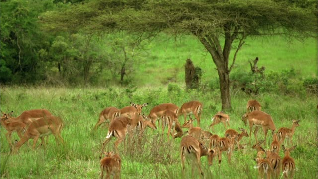 Gazelles gather in a veld with their young. Available in HD.