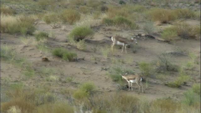 Gazelles graze amongst sand dunes, Kalamaili Nature Reserve, Xinjiang, China