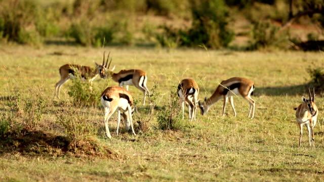 vídeos y material grabado en eventos de stock de gacelas que abrir - reserva nacional de masai mara
