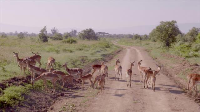 Gazelles in Lake Nakuru, Kenya