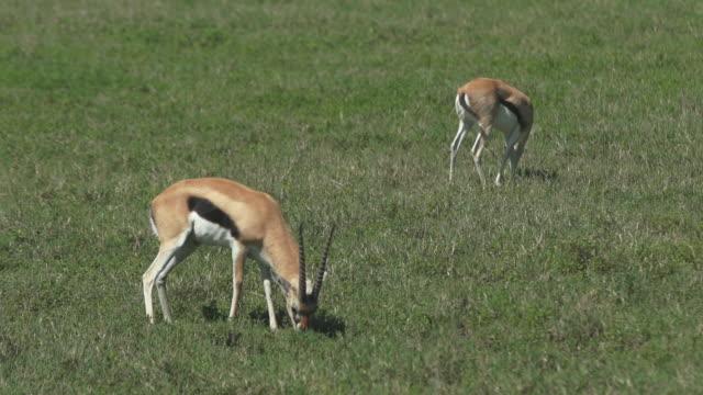 vídeos y material grabado en eventos de stock de gazelles - wiese