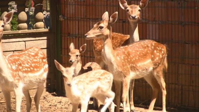 gazellen - tier in gefangenschaft stock-videos und b-roll-filmmaterial