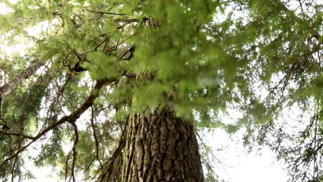 stockvideo's en b-roll-footage met staren op cedar tree luifel - minder dan 10 seconden
