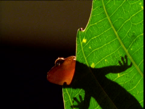 vidéos et rushes de gecko clambers to edge of leaf, new caledonia - dom tom