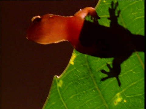 vidéos et rushes de gecko leaps off of edge of leaf, new caledonia - dom tom