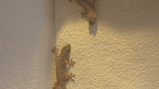 gecko lizard fighting on the wall - zoology stock videos and b-roll footage