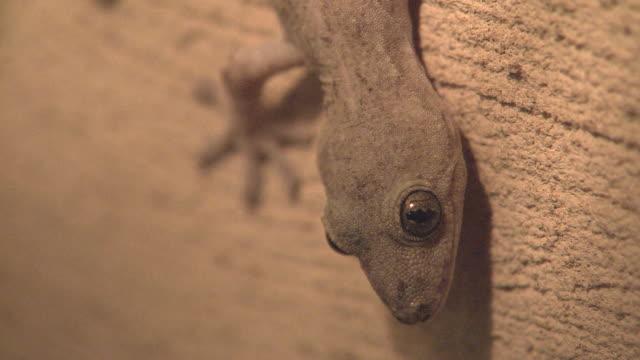 Gecko Lizard On The Wall
