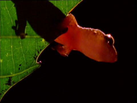 vidéos et rushes de gecko peers off of edge of leaf then clambers up it, new caledonia - dom tom