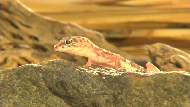 A gecko perches on a rock and looks over its edge.