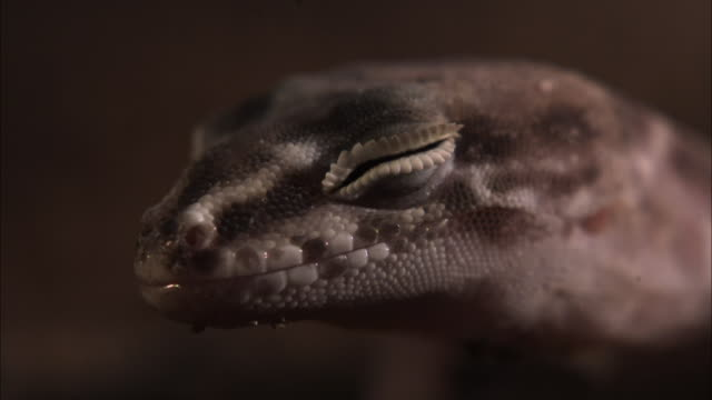 a gecko slowly opens its eye. - animal eye stock videos & royalty-free footage