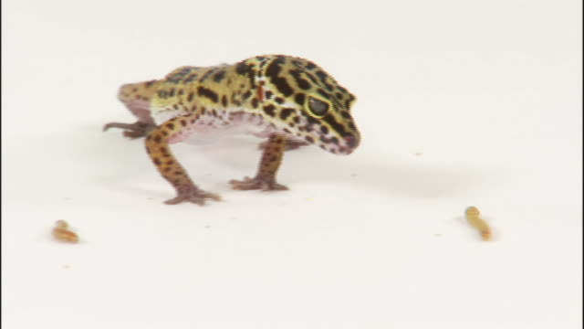 vídeos y material grabado en eventos de stock de a gecko snatches a grub and eats it. - reptil