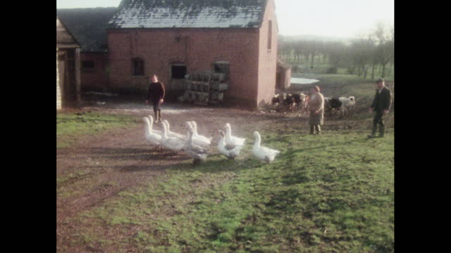 geese are herded on a farm, uk, 1970s - skirt stock videos & royalty-free footage