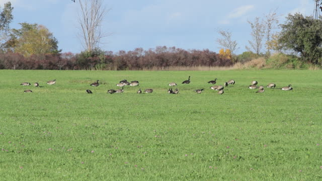 Geese eating in a field