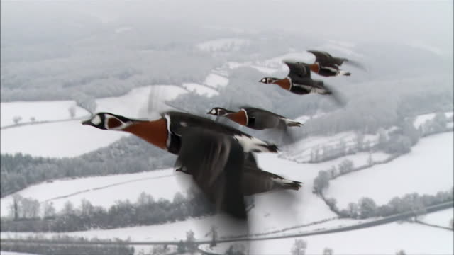 vídeos de stock, filmes e b-roll de geese fly in formation above a snowy countryside. - birds flying in v formation