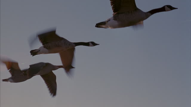 geese fly in formation over a body of water. - oca uccello d'acqua dolce video stock e b–roll