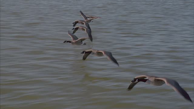 vídeos de stock, filmes e b-roll de geese fly in formation over a body of water. - birds flying in v formation