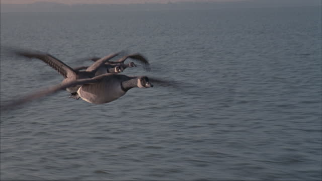 Geese fly over the ocean.