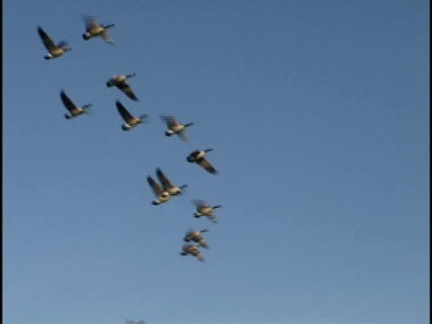 ms, la, geese flying against clear sky, wyoming, usa - aquatic organism stock videos & royalty-free footage