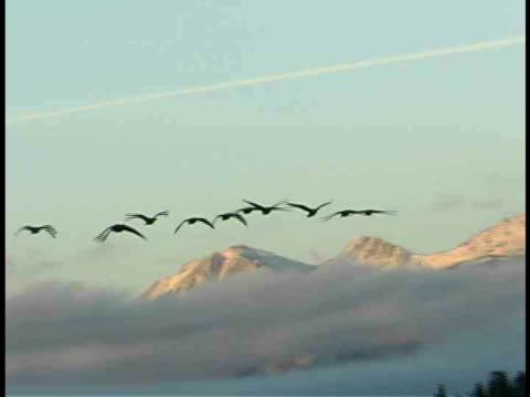 stockvideo's en b-roll-footage met ms, la, geese flying in front of snow covered mount moran, grand teton national park, wyoming, usa - mount moran