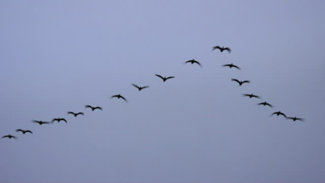 geese flying in the sky / dmz (demilitarized zone between south and north korea), goseong-gun - oca uccello d'acqua dolce video stock e b–roll